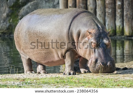 hyppopotamus close up portrait while eating grass - stock photo