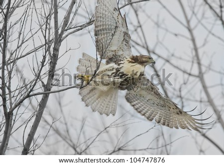 I am out of here! Red-tailed Hawk . Latin name-Buteo jamaicensis. - stock photo