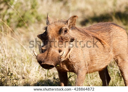 I see you Again - Phacochoerus africanus - The common warthog is a wild member of the pig family found in grassland, savanna, and woodland in sub-Saharan Africa. - stock photo
