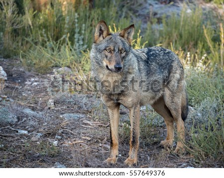 Iberian female wolf (Canis lupus signatus) in the forest