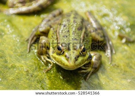 Iberian Green Frog ( Pelophylax perezi ) - also known as Perez's Frog - smiling on algae in a pond.