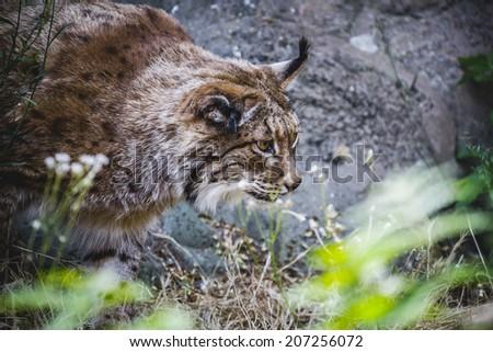 Iberian lynx chasing a bird, hunter - stock photo
