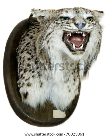 Iberian lynx heads on a white background - stock photo