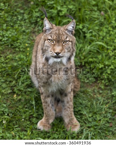 Iberian lynx or Lynx pardinus at wild life park - stock photo