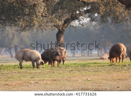 Iberian pig eating acorns in the meadow  - stock photo