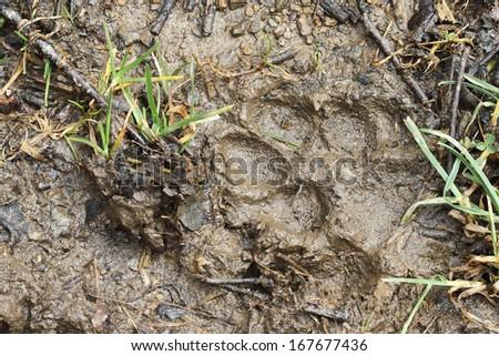 Iberian wolf (Canis lupus signatus) print - stock photo