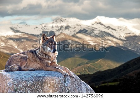 Iberian wolf lying on rocks on a snowy mountain watching while sunbathing on a warm day - stock photo