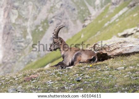 Ibex - stock photo
