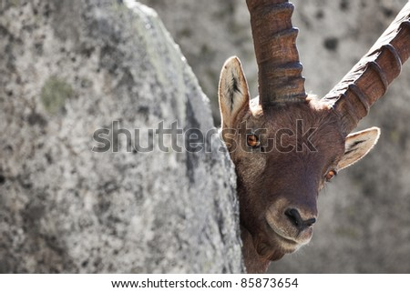 Ibex at 2700 meters on the sea-level during summer