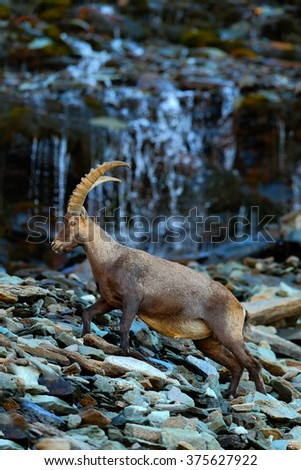 Ibex, Capra ibex, antler alpine animal with coloured rocks with waterfall in background, animal in the stone nature habitat, Switzerland - stock photo