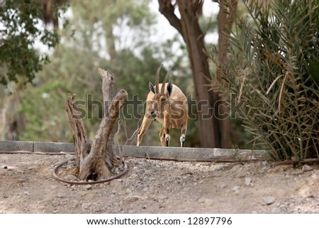 Ibex in Ein Gedi, Israel National Park