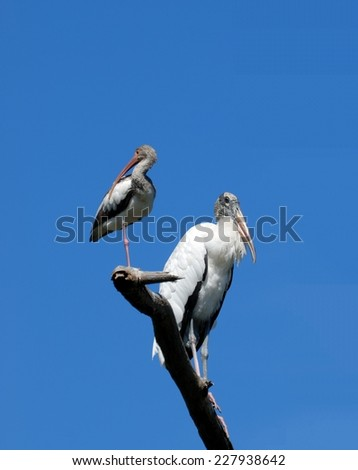 Ibis and Wood Stork in  the wild Florida, USA - stock photo