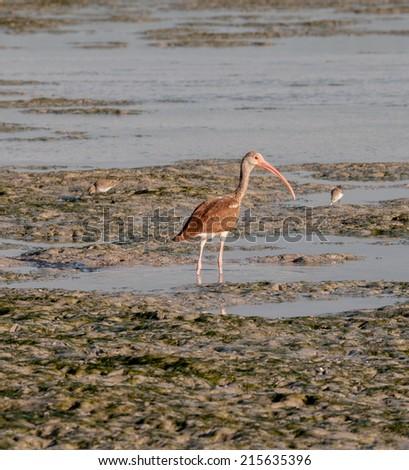 Ibis feeding on Everglades mudflats - stock photo