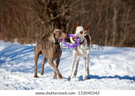 Ibizan Hound and weimaraner dog - stock photo