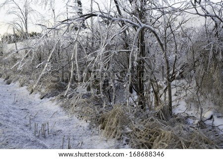 Ice on foliage after freezing rain storm - stock photo