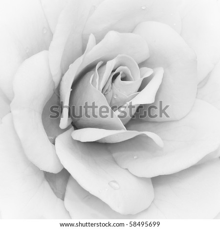 Iceberg Rose (Rosa) - Floribunda in black & white - stock photo