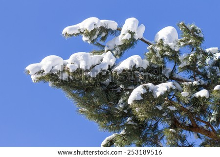 Iced branch of pine over blue sky. Weather winter background - stock photo