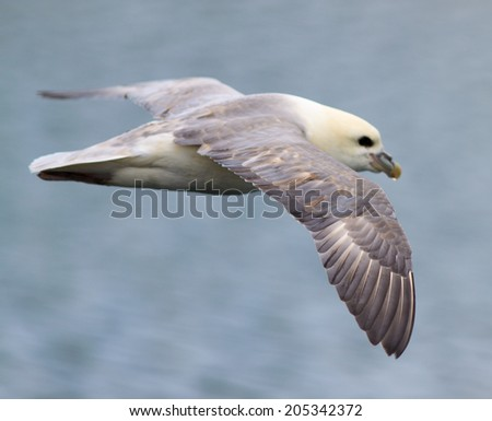 Iceland Gull in flight.