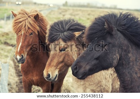 Iceland horses pony - stock photo