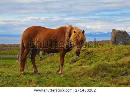 Iceland in July. Farmer sleek horse. Beautiful horse grazing in a meadow near the farm - stock photo