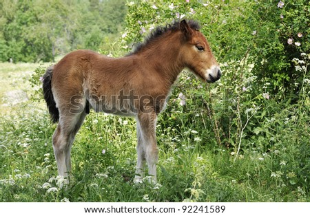 Icelandic foal surrounded by flowers