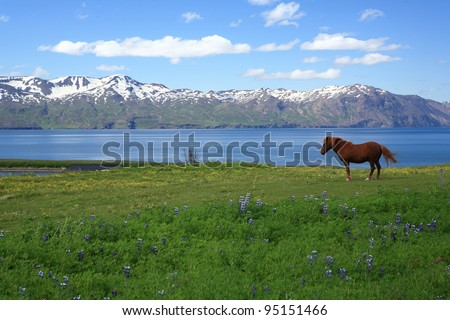 Icelandic horse in a field near Husavik in Iceland - stock photo