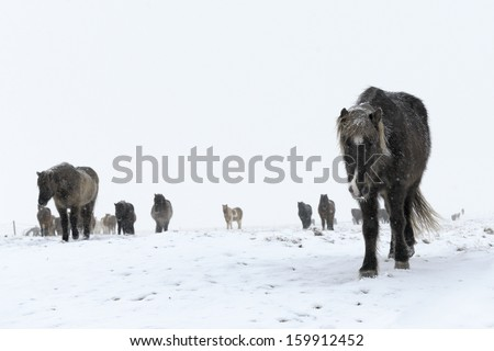 Icelandic horse in snowcovered landscape. - stock photo