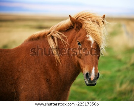 Icelandic horse in the field