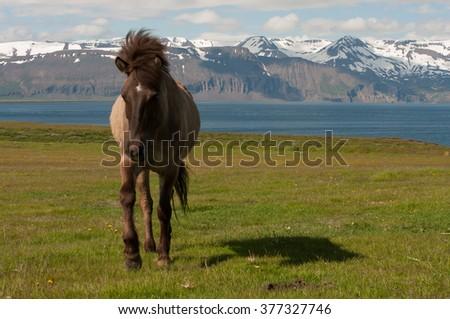 Icelandic horse on pasture at sea with panorama mountains, nature habitat, Iceland - stock photo