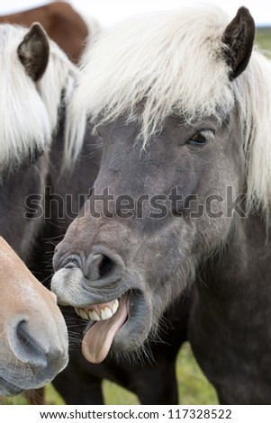Icelandic horse with teeth showing