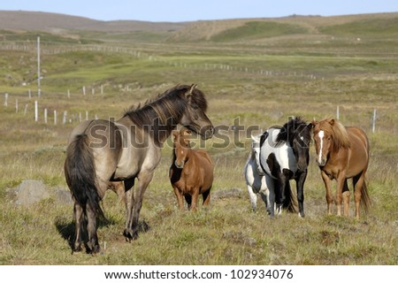 Icelandic horses. - stock photo