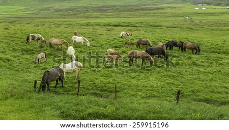 Icelandic Horses grazing in a lush field - stock photo