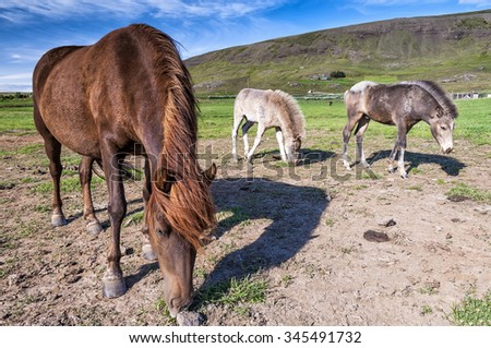 Icelandic horses grazing in icelandic countryside. Icelandic horse is a long-lived and hardy breed of horse also popular internationally. A sizable populations exist in Europe and North America. - stock photo