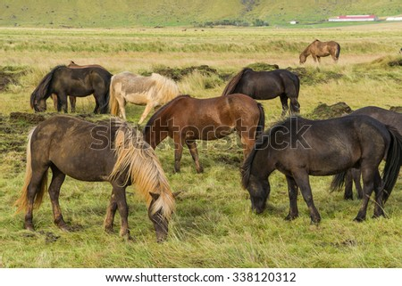 Icelandic horses grazing on the grass - stock photo