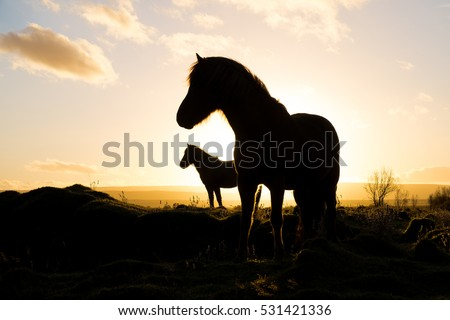 Icelandic horses in silhoutte set against the rising sun. very tranquil feel to the image
