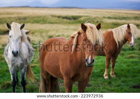 Icelandic horses in the field - stock photo