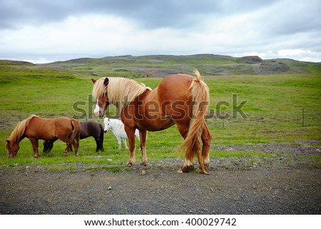 Icelandic horses, pony by the side of the road - stock photo