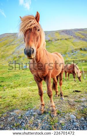 Icelandic Pony on a farm in Iceland - stock photo