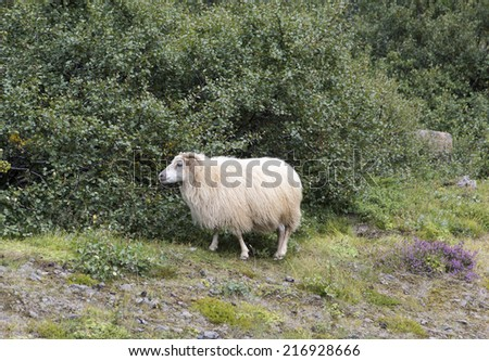Icelandic Sheep - stock photo