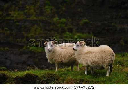 Icelandic sheeps near Haifoss, Iceland - stock photo