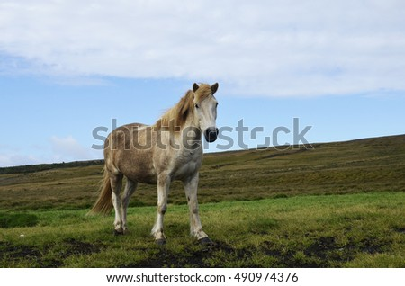 Icelandic white horse stares at the camera in Iceland