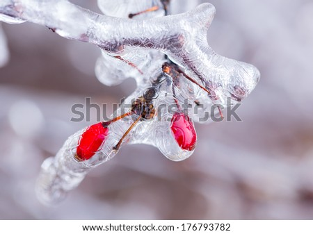 Icicles forming off ice covered branches of berberis tree in winter with the red berries visible as the covering starts to melt - stock photo