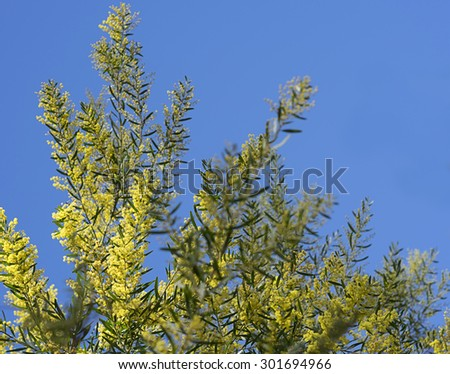 Iconic Australian Spring Wildflower Golden Wattle Acacia fimbriata against clear blue sky - stock photo