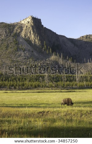 iconic North American Bison on a beautifully scenic plain in Yellowstone National Park