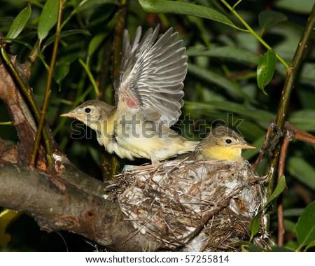 Icterine Warbler, Hippolais icterina. Fledglings in the nest. - stock photo
