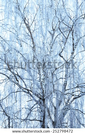 Icy blueish treetop of a birch in winter - stock photo