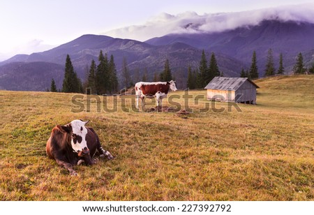 Idealistic landscape of Two cows grazing on a meadow in lights of a rising Carpathian sun. - stock photo