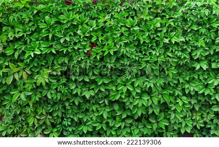 ideas for garden - Green ivy seamless texture - stock photo