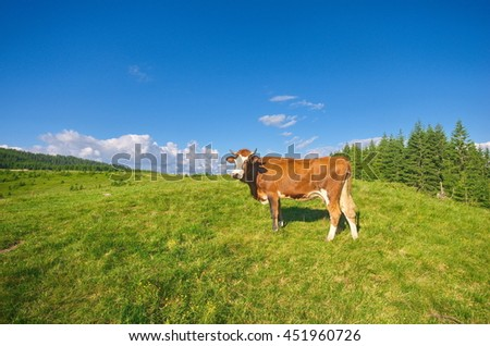 Idyllic alpine scenery with grazing cow, blue sky and white clouds. Mountain grassland with grazing cow in summer pasture. Agricultural composition, Carpathians, Ukraine - stock photo