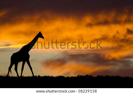 Idyllic giraffe silhouette under fiery African sky. - stock photo